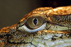 portrait of predator alligator on the water - stock photo