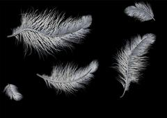 Stock Illustration of flying feathers on black background