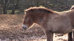 Przewalski's horse a zoo in Germany Stock Footage
