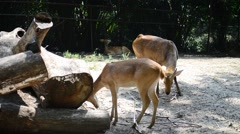 Sambar Deer (Rusa Unicolor) In Zoo Stock Footage