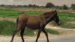 Mule Walking on Road Stock Footage