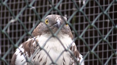 Falcon in a zoo in Germany Stock Footage