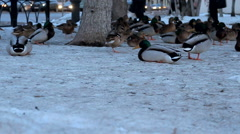 Look through the eyes of a duck Mallard as an element of the urban environment Stock Footage