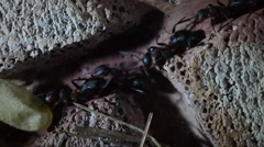 Ants worker are carrying chrysalis in underground artificial anthill Stock Footage