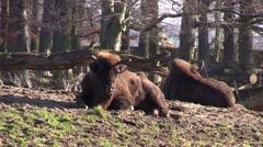 Aurochs in a zoo in Germany - stock footage