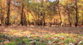 Autumn  forest landscape with leaves. Slider shot  HD Footage