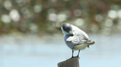 Whiskered Tern in swamps Stock Footage
