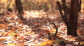Beauty of autumn sunny wood. Slider shot HD Footage