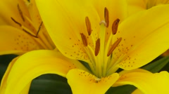 Yellow Lily Stock Footage