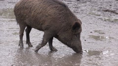 Wild pig in a zoo in Germany Stock Footage