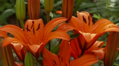 Orange Lily Stock Footage
