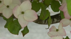 Dogwood Tree Blossoms - stock footage