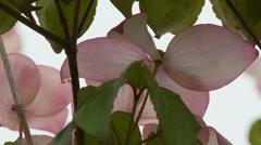 Dogwood Tree Blossoms Stock Footage