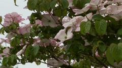 Dogwood Tree Blossoms Stock Footage