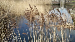 Canal side grasses moving in a breeze in Birmingham city centre. Stock Footage