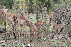 Baby impala antelopes Stock Photos