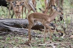 Baby impala antelopes - stock photo