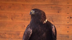 Eagle in a zoo in Germany - stock footage