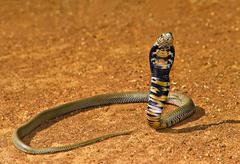 Cobra Kuvituskuvat