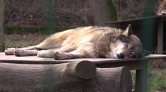 Sleeping wolf in zoo in Germany Stock Footage