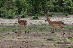 Male impala antelopes Stock Photos