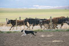 Dog herding cattle on ranch Stock Photos