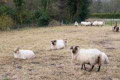 Drenthe Heath sheep - stock photo