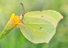 Gonepteryx rhamni amazing polish butterfly macro Stock Photos