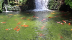 Carps floats in the pond - stock footage