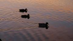 Ducks Going for Sunset Swim on Purple Lake Stock Footage