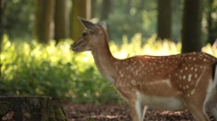 Deer in Park from Side - stock footage