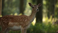 Panning from a Trunk to a Deer - stock footage