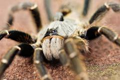 Baboon spider - stock photo
