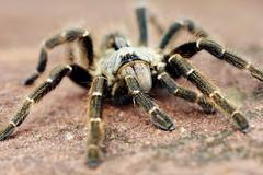 Baboon spider Stock Photos