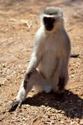 Vervet monkey Stock Photos