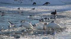 Waterbirds on half frozen lake at sundown/ 4k Winter landscape footage Stock Footage
