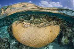 Brain Coral in Caribbean Seagrass Stock Photos