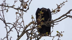 Crow in nests on tree Stock Footage