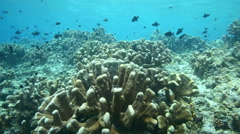 Redtoothed triggerfish swimming over coral reef Stock Footage