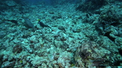 Coral reef fish feeding amongst dead and broken corals Stock Footage