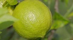 Lemon on a Tree Stock Footage