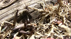 Termite queens emerging with workers V05029 Stock Footage