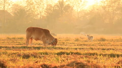 Bullock In Countryside Field Of Thailand (three shot) Stock Footage