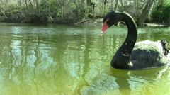 A Black Swan Swims in an English Pond Stock Footage