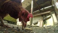 Chickens eating extreme closeup Stock Footage