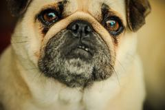 Pug Dog - stock photo