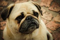 The Pug - stock photo