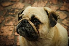 Ugly Dog Pug - stock photo