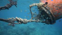 School of sergeant major fish (Abudefduf saxatilis) swimming around mooring buoy Stock Footage