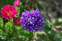 Flower Aster - stock photo